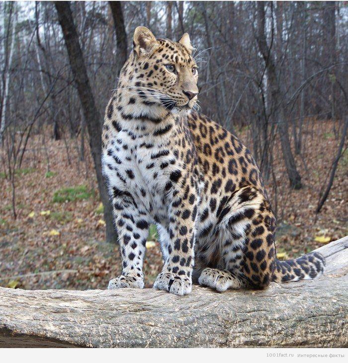леопард в заповеднике