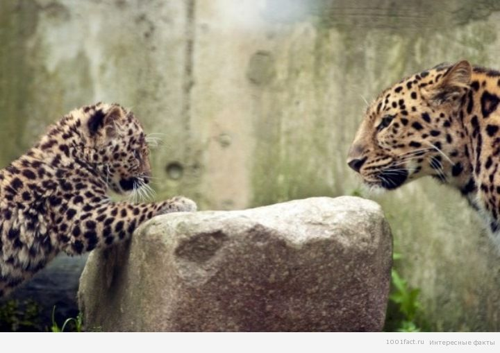 редкий вид леопарда
