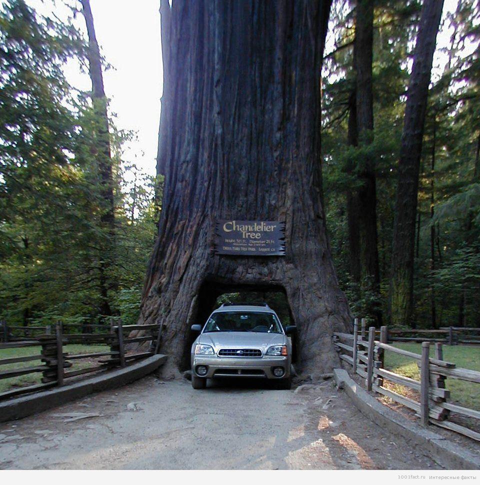 про высокое дерево_секвойя