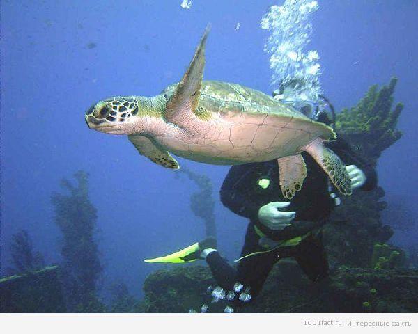 подводный мир_черепаха