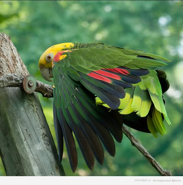 попугаи_амазоны