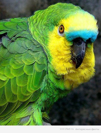 птицы_амазоны