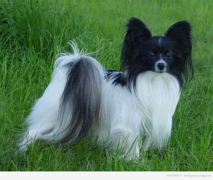 маленькая порода собак