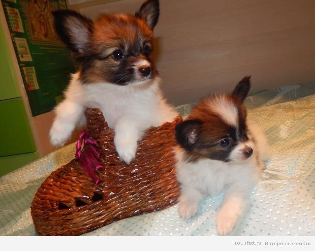 две собаки породы папильон