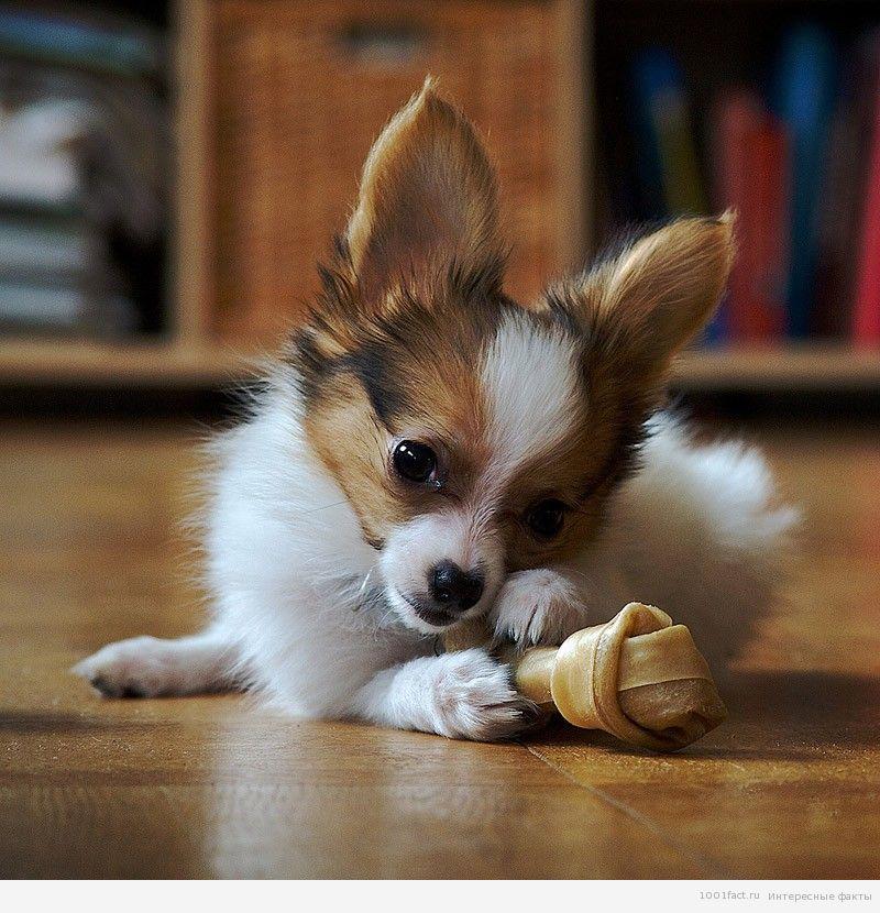 щенок папильон