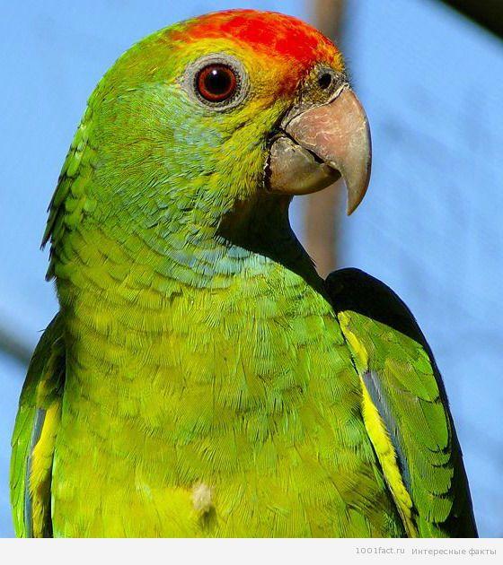 амазонский попугай во всей красе