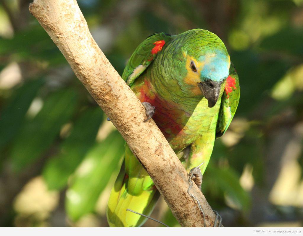 попугай в лесах Амазонии