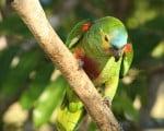 факты об амазонских попугаях