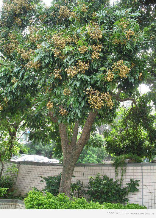фрукт_лонган
