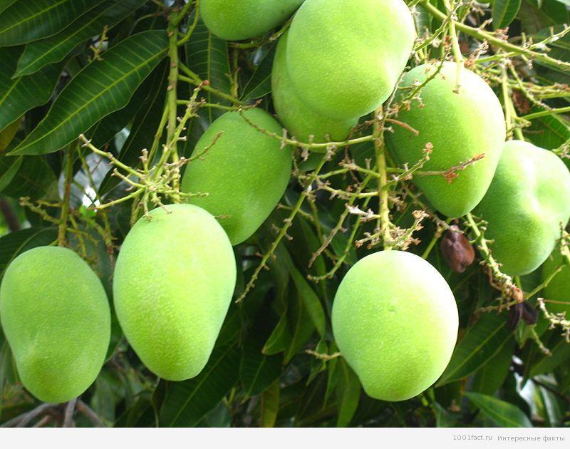 фрукты_манго