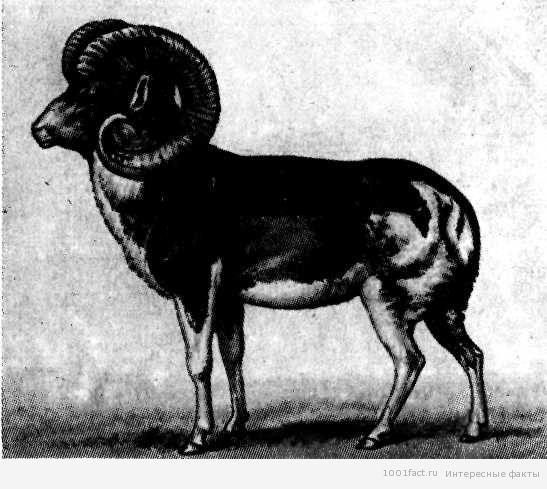 древние рисунки муфлонов