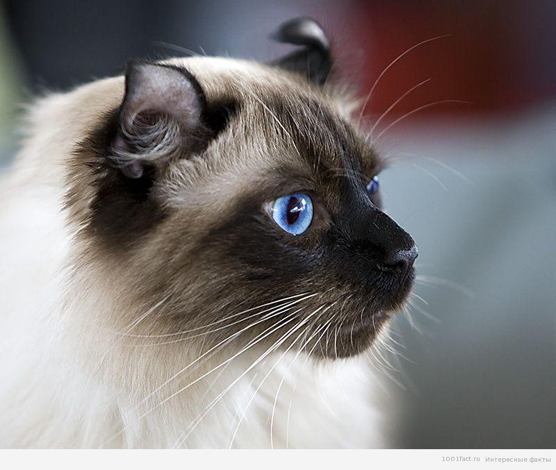 кошка_американский керл