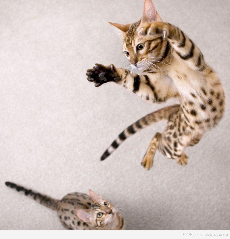 прыжок кошки