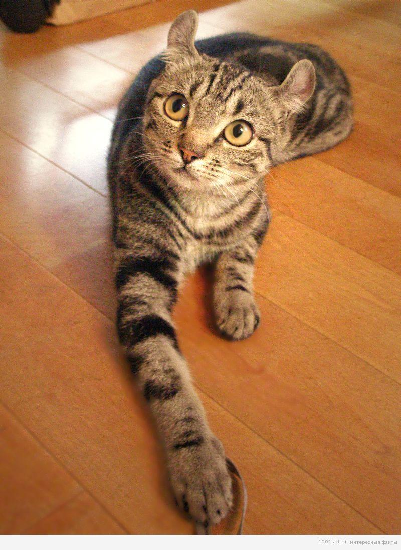 кошки_факты