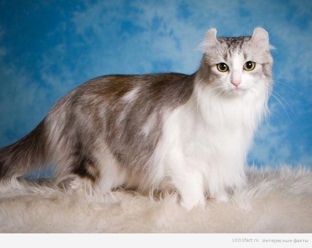 милые кошки_американский керл