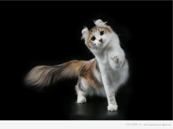 необычные уши у кошек