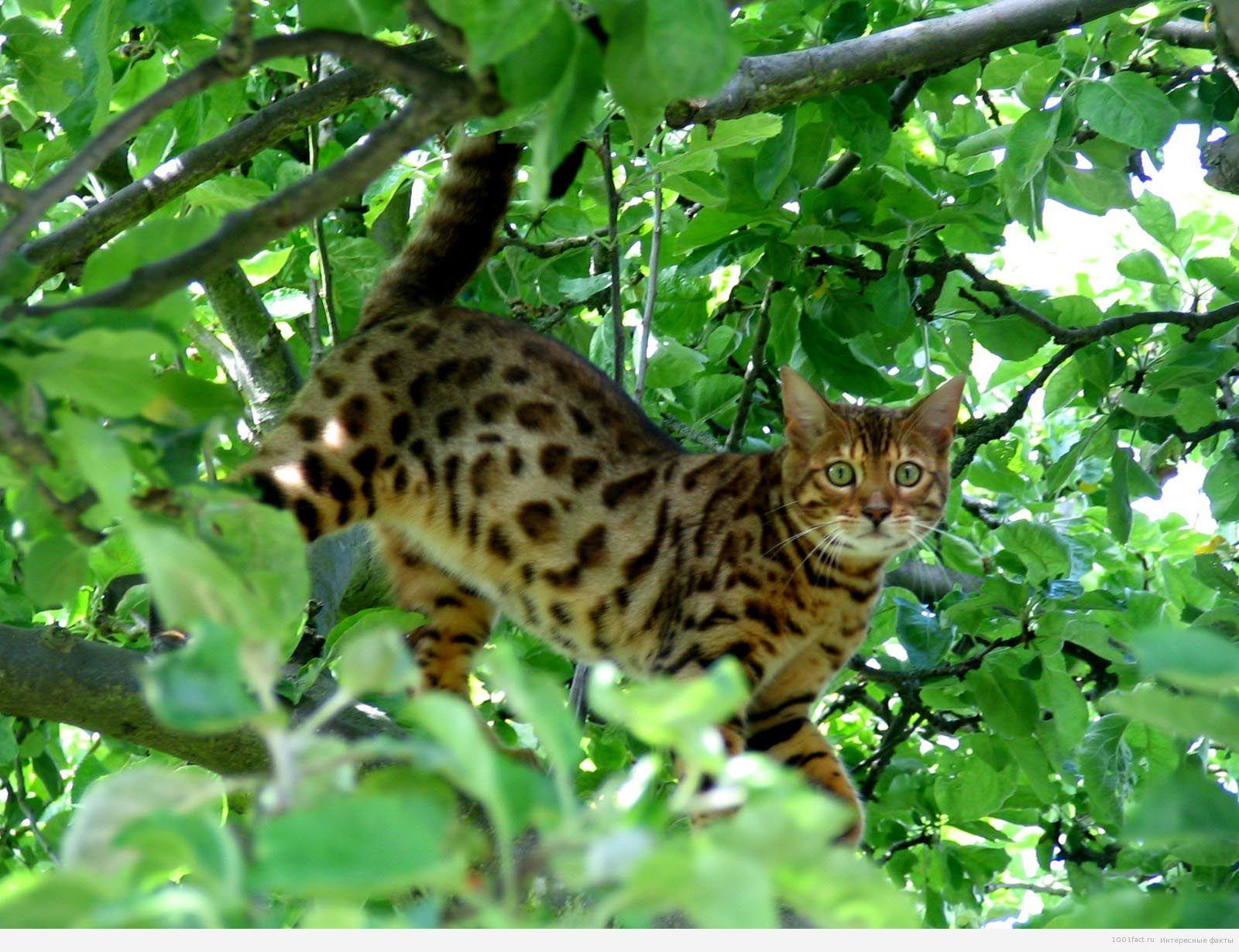 бенгальская кошка среди зелени