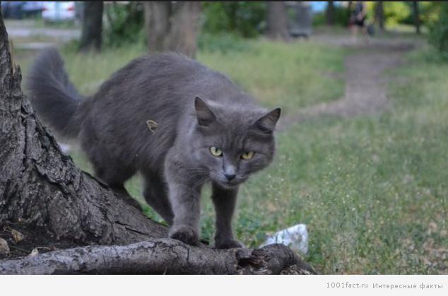 кошки_нибелунги