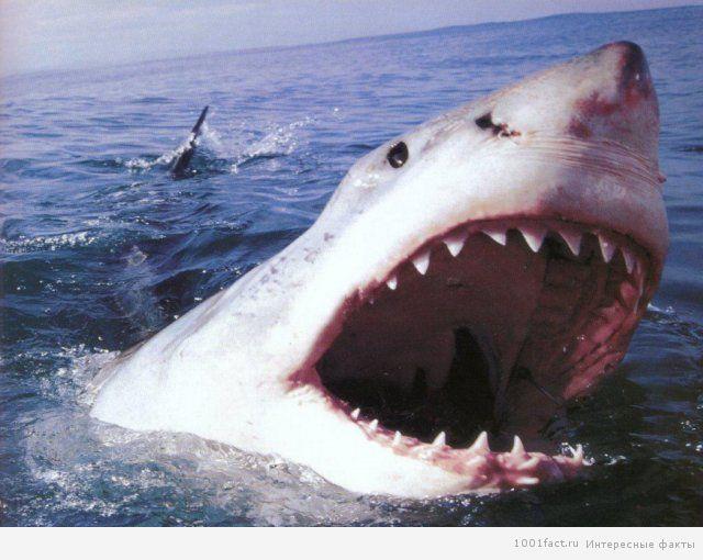 акулы_опасные в мире