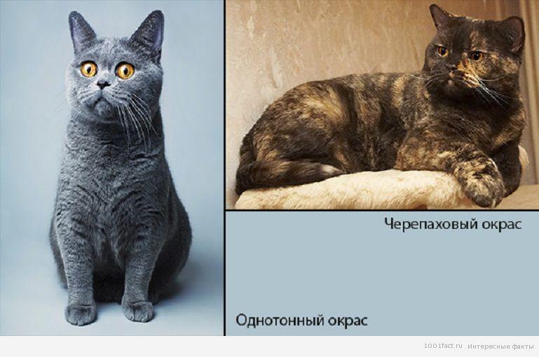 разные окрас кошек британок