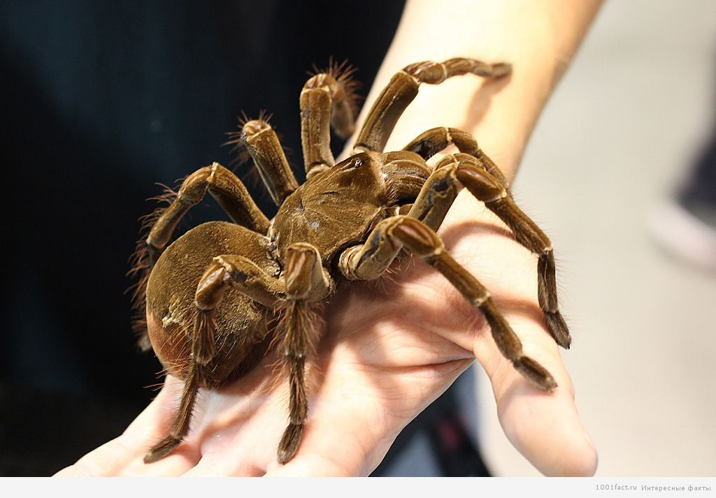 крупный паук