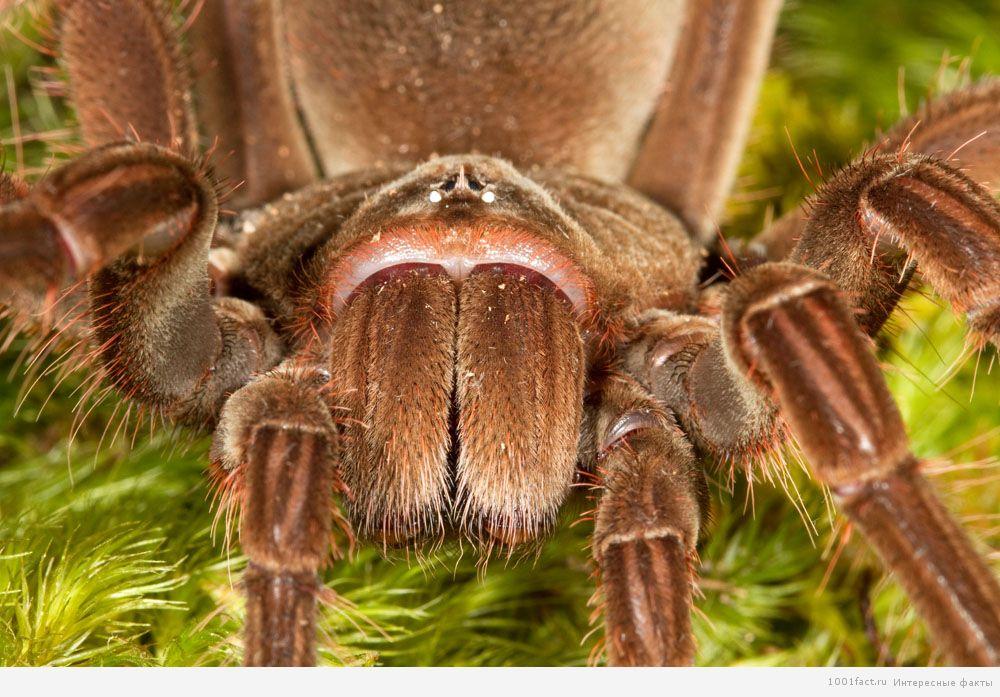 окрас паука