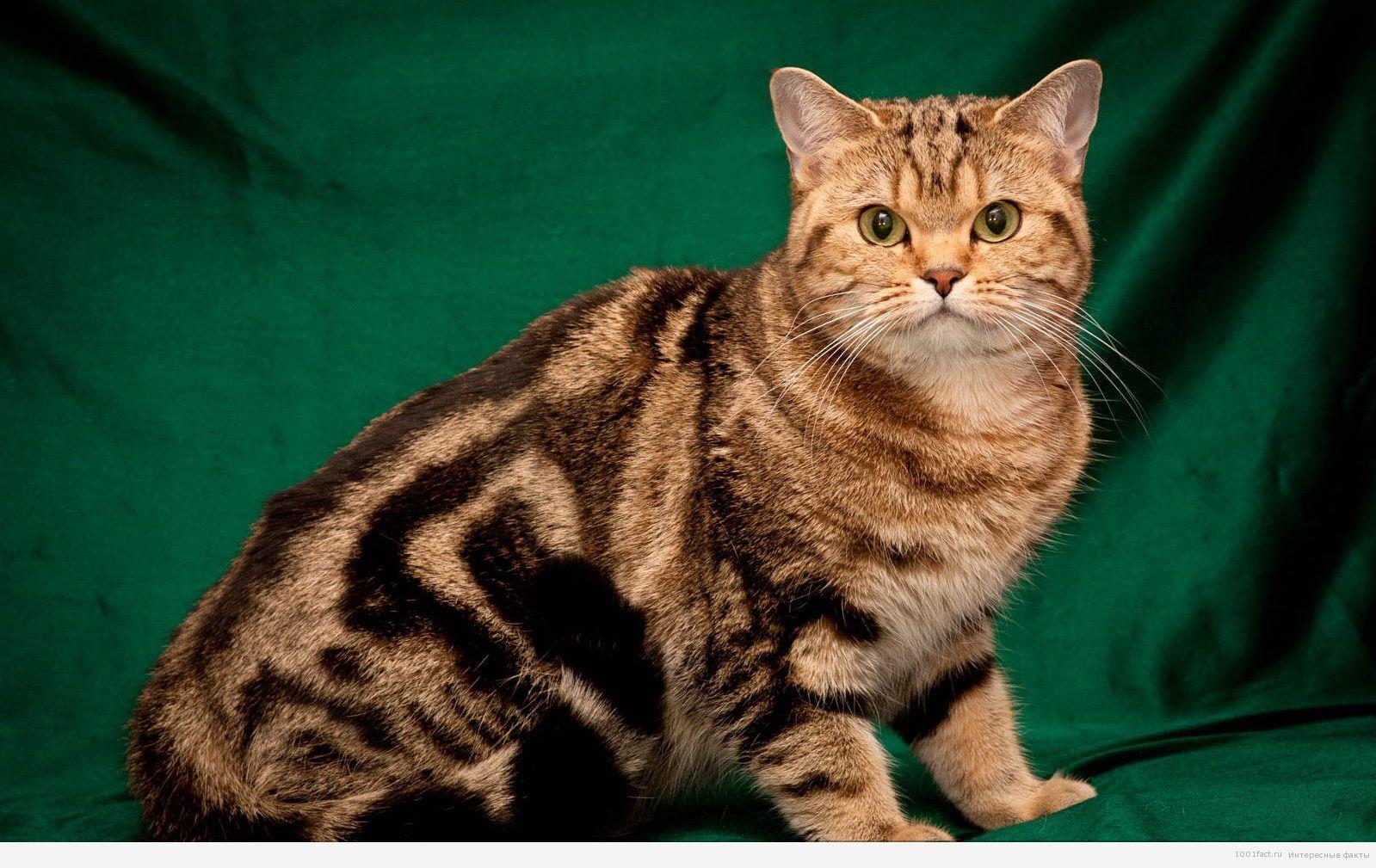 теперь окрасы британских коты окрас картинки вызвали школу