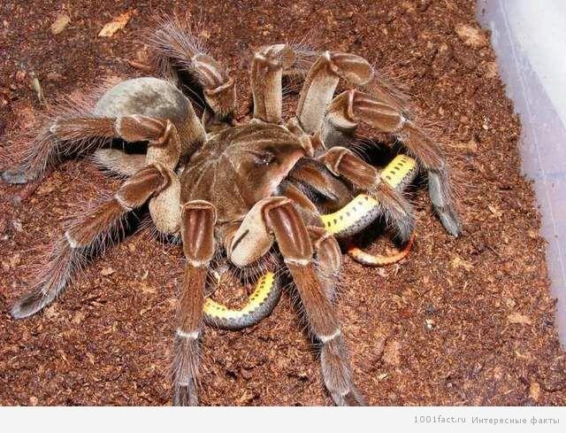 особенность паука