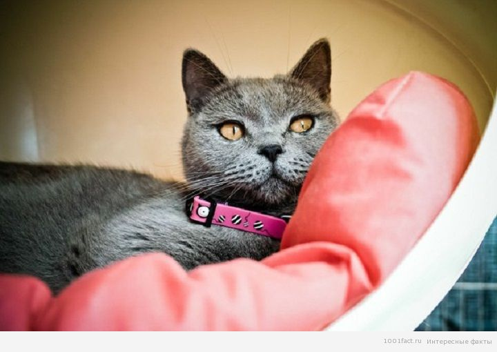 прекрасный компаньон_британская кошка