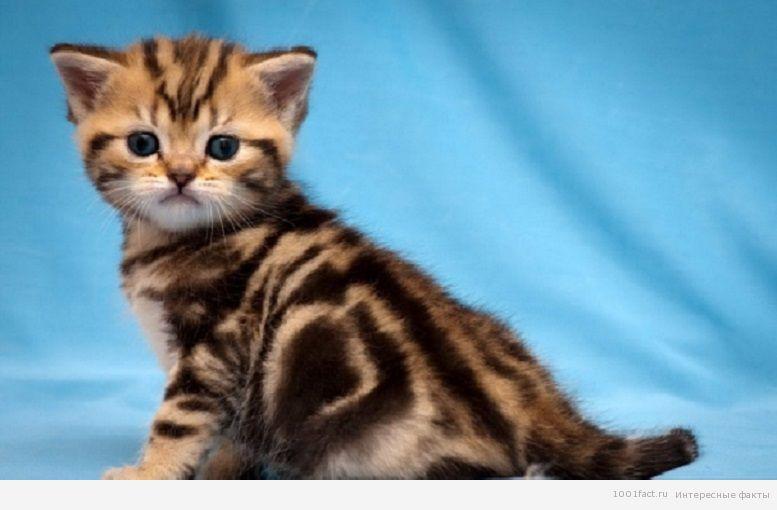 котенок британской кошки