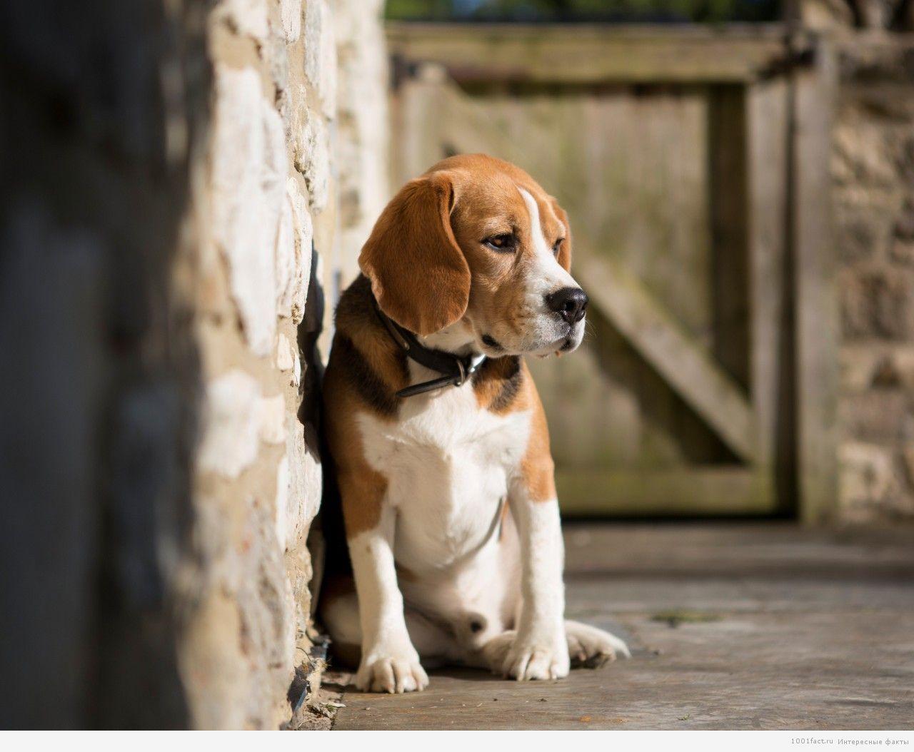 собака-порода бигль