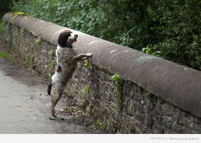 собака на мосту Овертоун