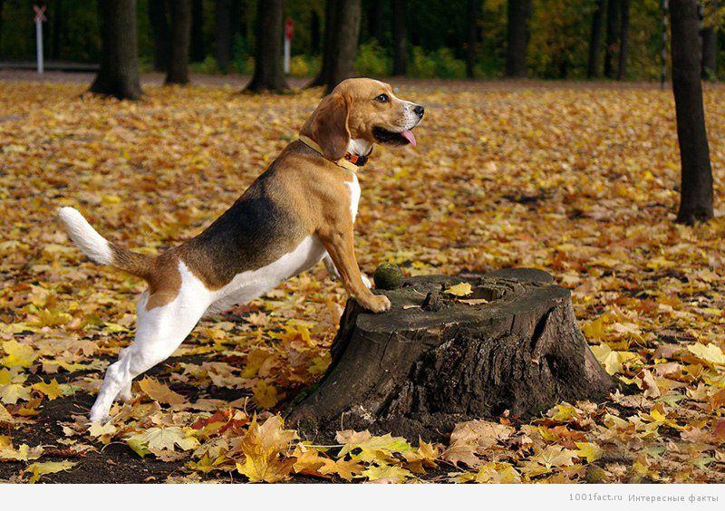 пес для охоты_бигль