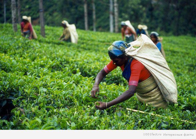 сбор чай