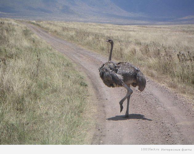 страус на дороге