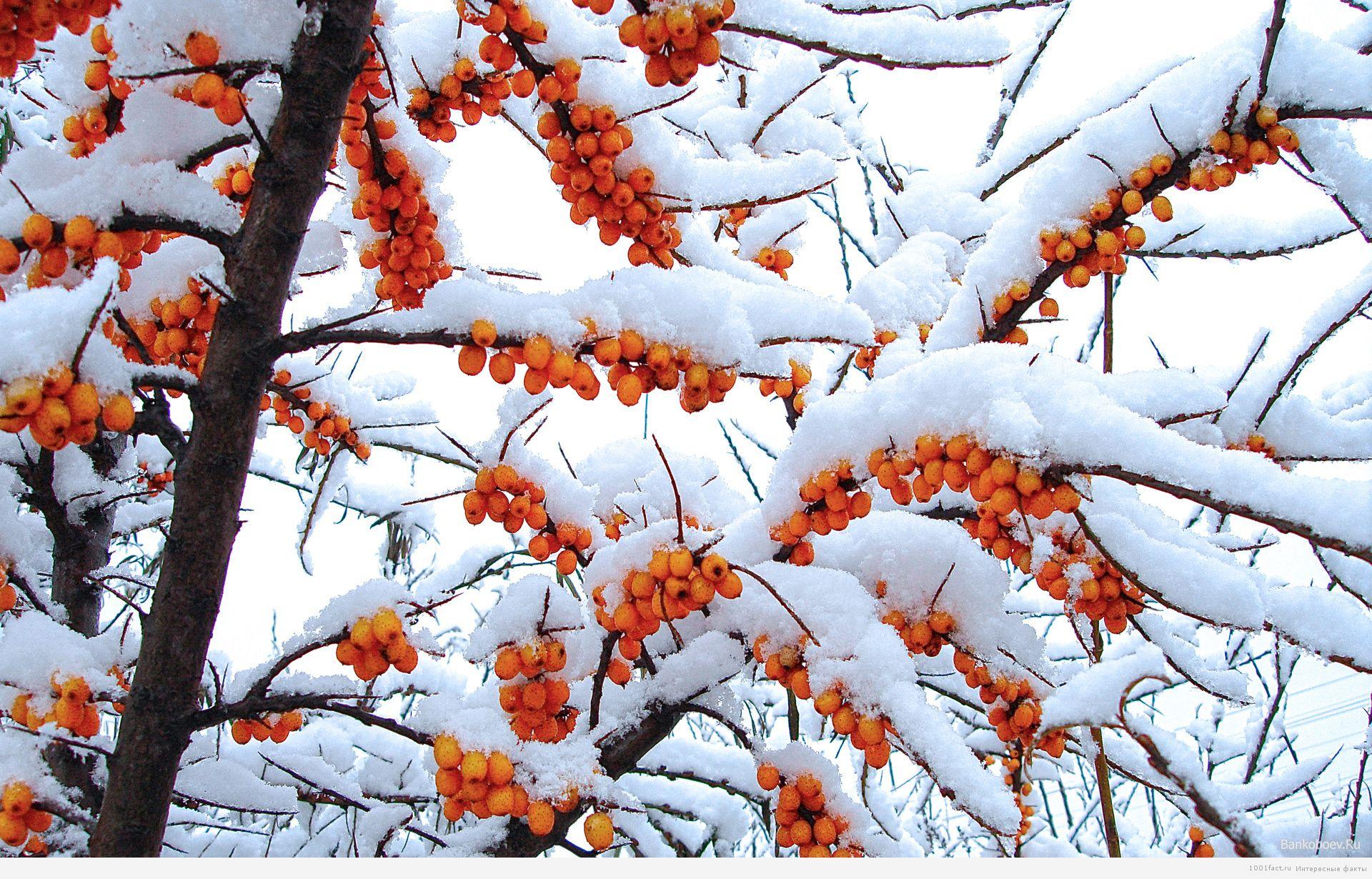 облепиха в снегу