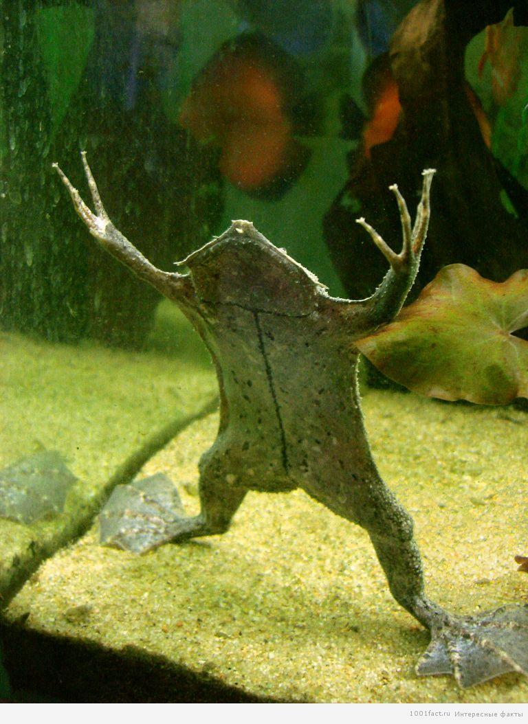 удивительная лягушка пипа