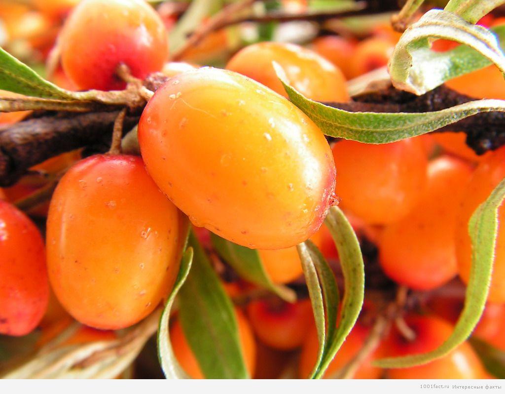полезная ягода