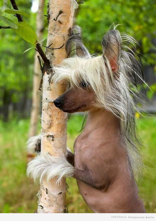 порода китайская хохлатая собачка