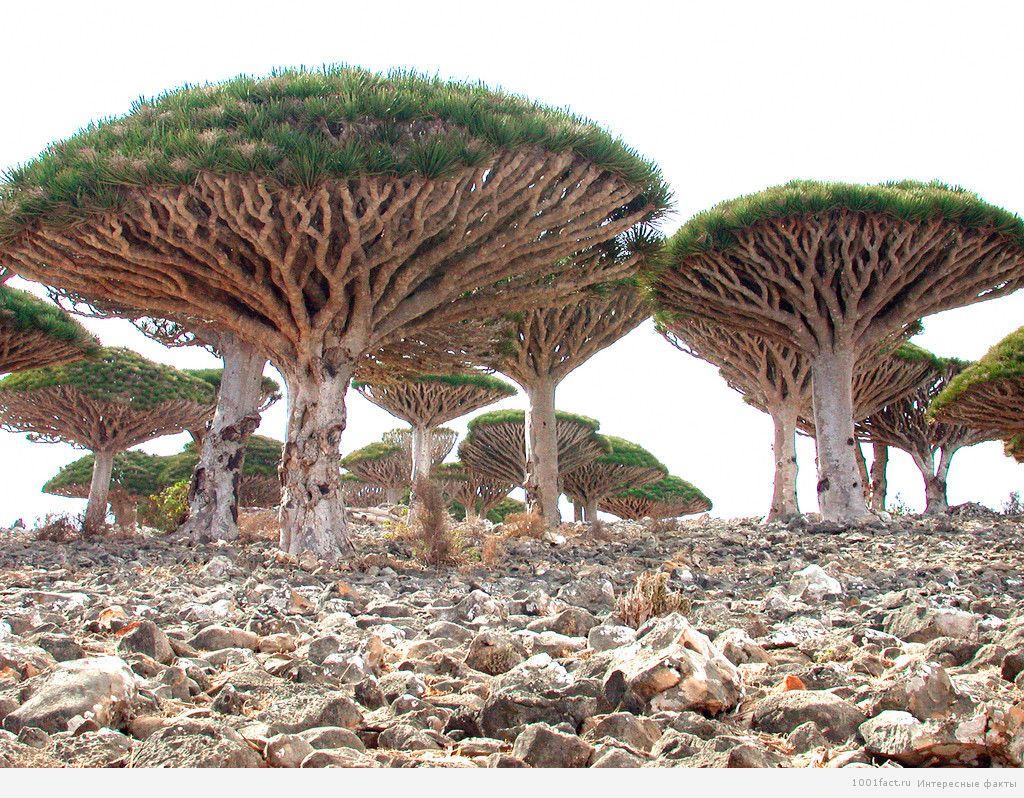 дерево напоминает гриб