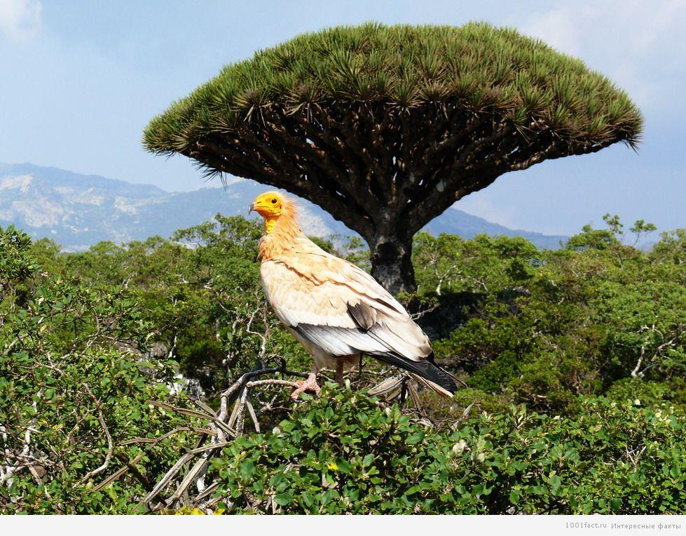 редкие птицы на острове Сокотра