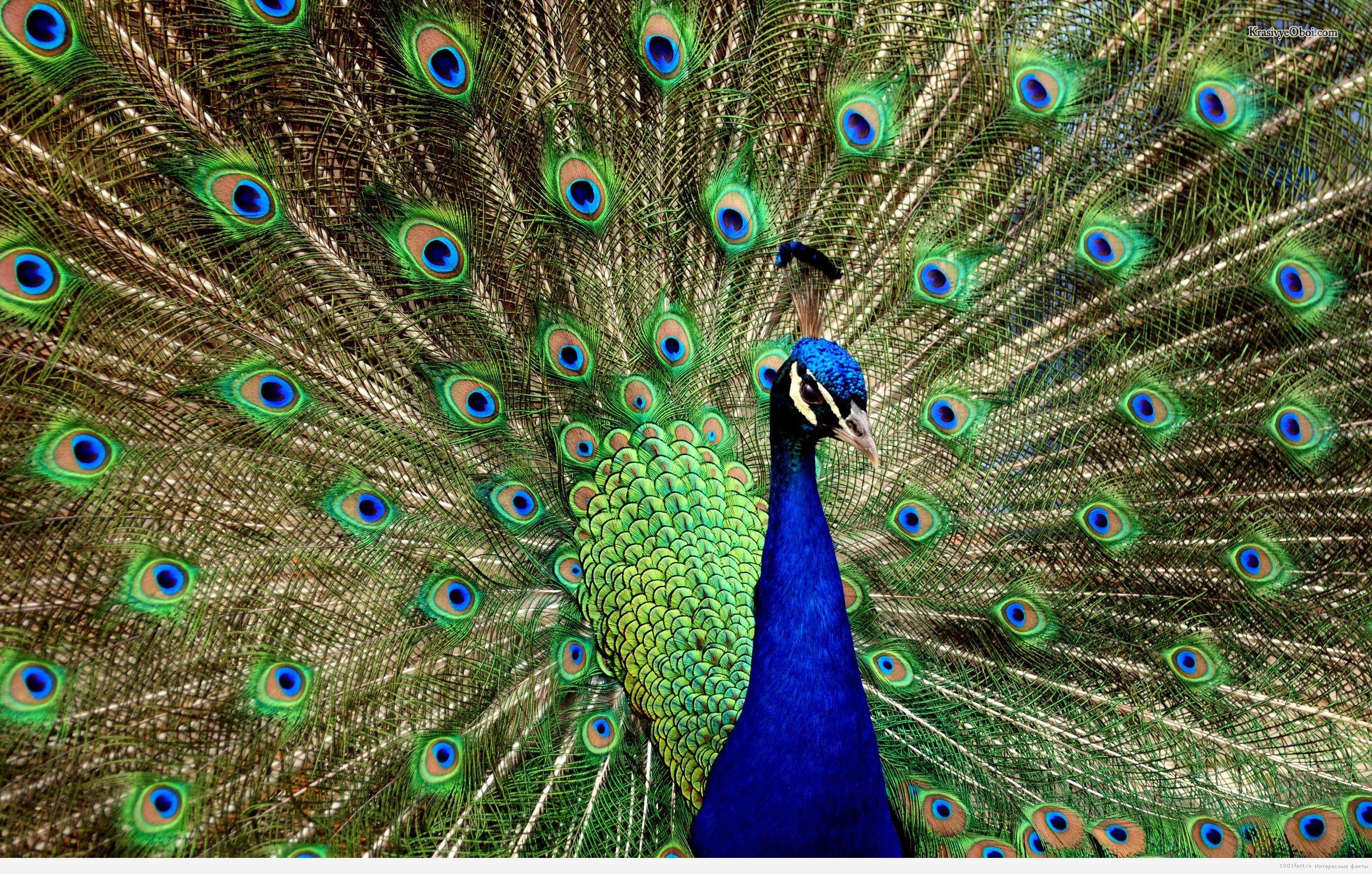 интересное о птице павлин: