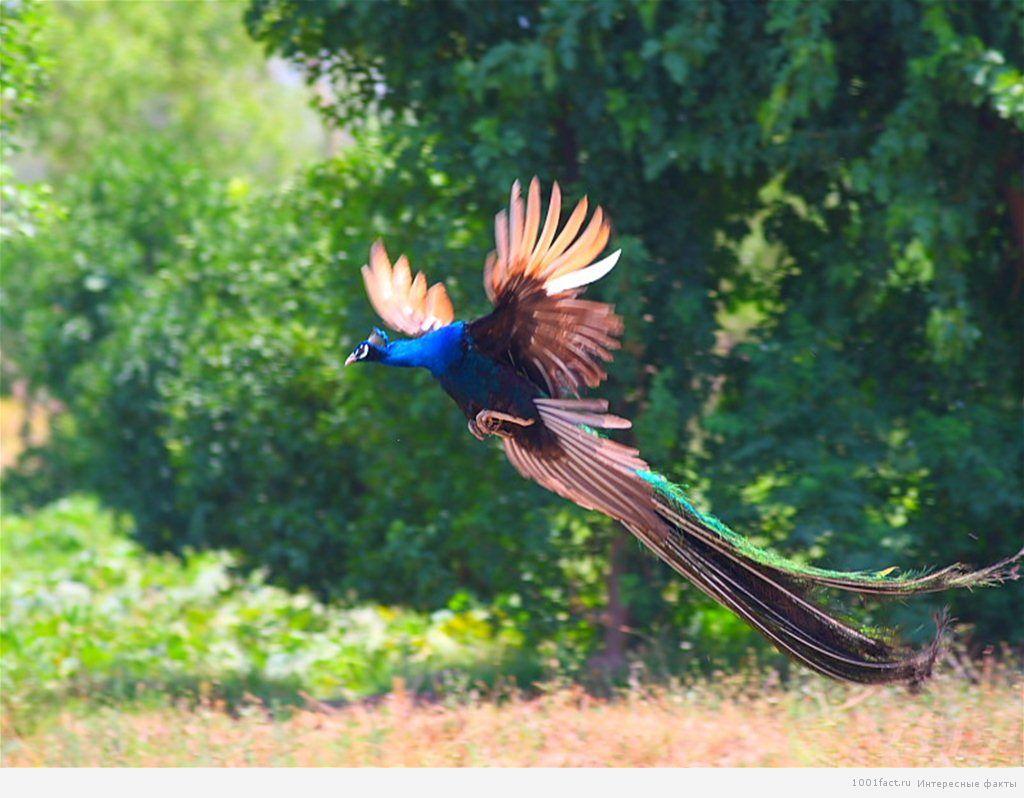 птица павлин