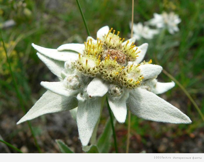 происхождение цветка