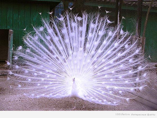 красота птицы павлин