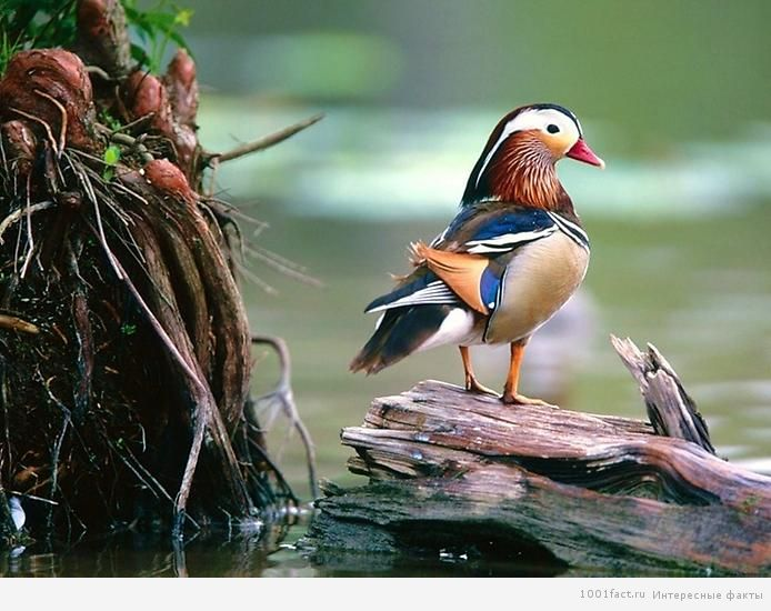 красивые утки мандаринки