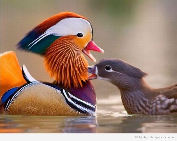 про утки мандаринки