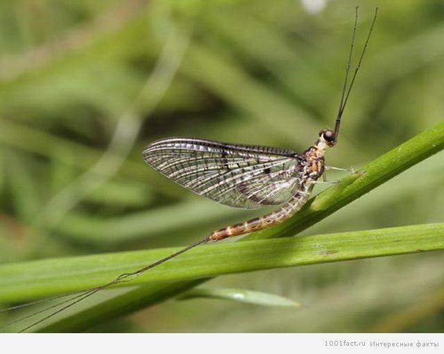 бабочка поденка