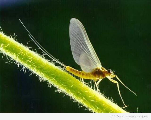 бабочка-однодневка
