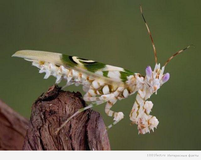 богомол изображает цветок